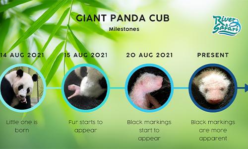 inforgraphic-baby-panda-growth