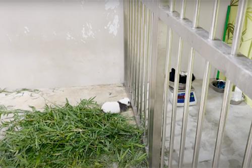 baby-panda-has-no-name