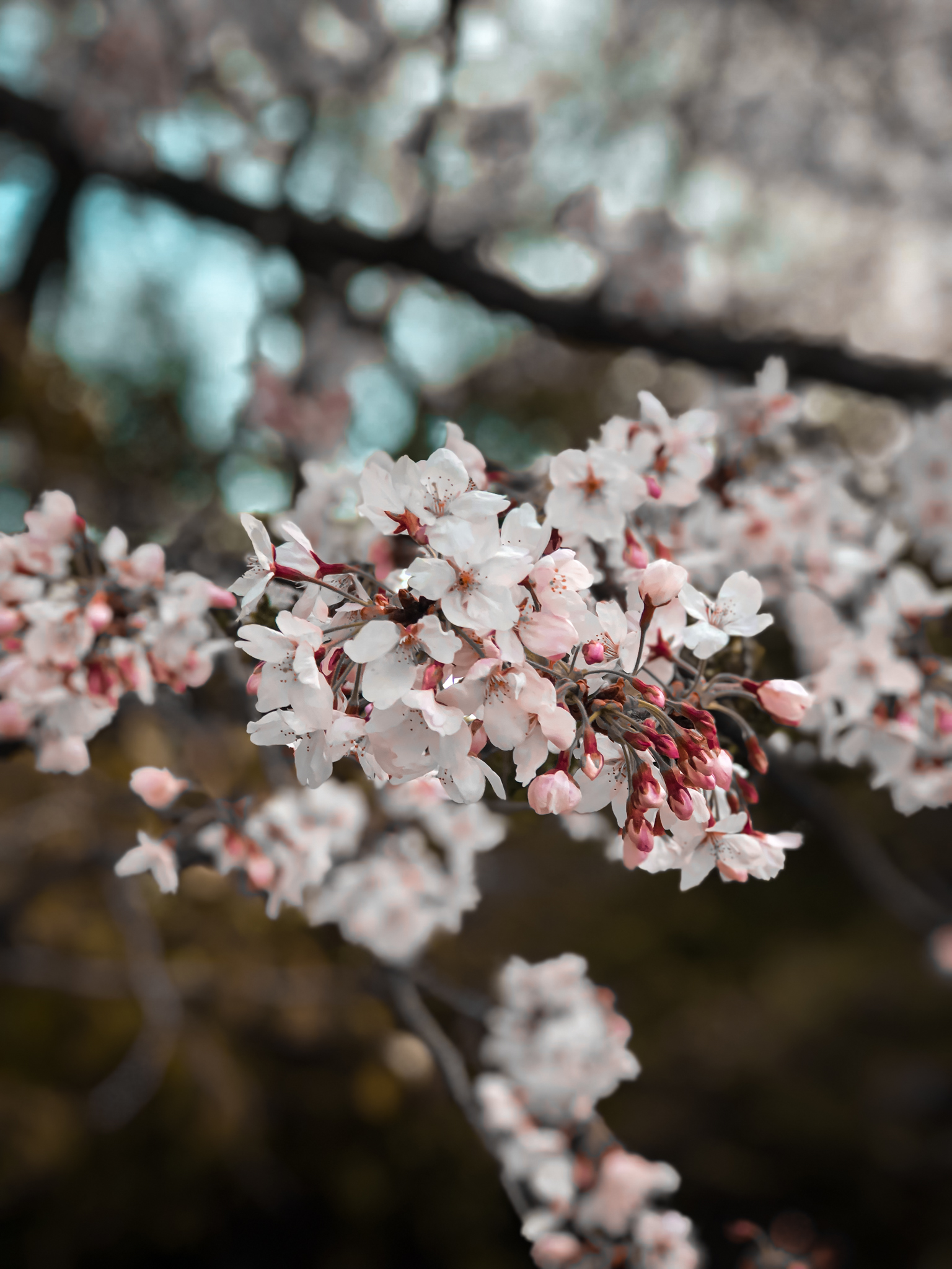 japan-flower-spring-cherry-blossoms-photography