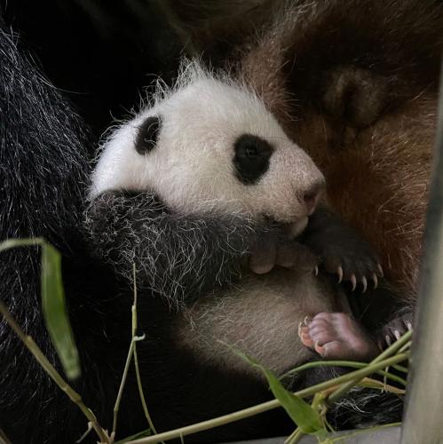 new-unnamed-panda-cub