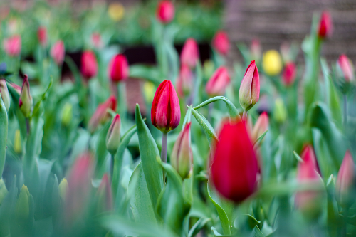 closeup-of-red-tulips